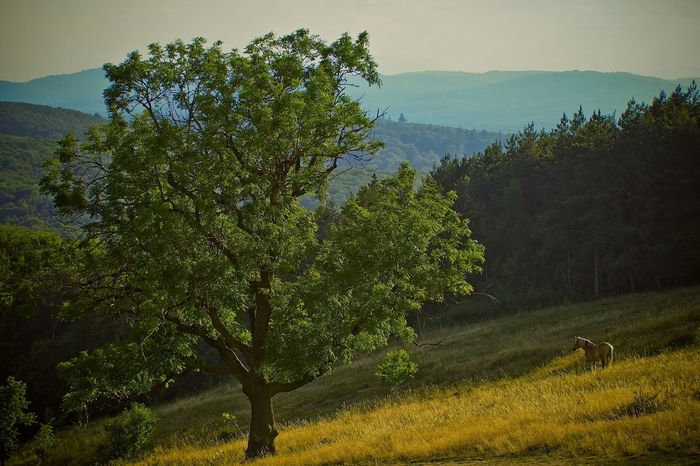 Sunny Tree Beauty In Nature Day Field Growth Horse Landscape Mountain Nature No People Outdoors Plant Scenics Sky Tranquil Scene Tranquility Tree Lost In The Landscape Perspectives On Nature