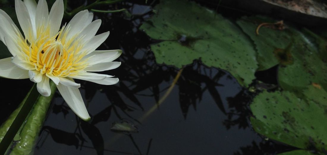 Flower Water Flowers Lily Pad Thailand