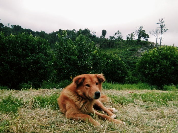 Animal Themes One Animal Dog Domestic Animals Pets Tree Mammal Field Growth Plant Animal Head  Grassy Nature Outdoors Tranquility Day Tranquil Scene Green Color Animal Hair Green Indonesia_photography Indonesia_allshots INDONESIA Indonesian Karo