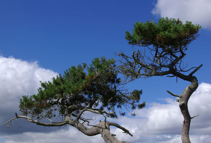 Environmental Effect on Tree Beauty In Nature Blue Blue Sky And White Clouds Branch Clear Sky Climate Change Cloud - Sky Coastal Erosion Day Environmental Damage Gales Growth Low Angle View Nature No People Outdoors Pinaceae Pine Tree Scots Pine Scottish Highlands Single Tree Sky Tree Treetop Wind Effect