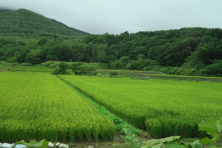 niseko hokkaido japan Agriculture Green Color Hokkaido Nature Niseko Paddy Agriculture Beauty In Nature Crop  Day Environment Field Fog Foliage Green Color Growth Land Landscape Lush Foliage Nature No People Outdoors Plant Plantation Rural Scene Scenics - Nature Tranquil Scene Tranquility Tree EyeEmNewHere A New Perspective On Life Holiday Moments Capture Tomorrow Moments Of Happiness It's About The Journey 2018 In One Photograph