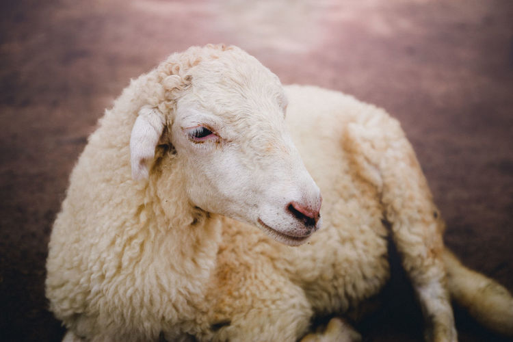 Mammal Domestic Animals Animal Themes Domestic Animal Pets Livestock One Animal Sheep Close-up Focus On Foreground No People Wool Looking Looking Away Animal Body Part Vertebrate Portrait Animal Head  Herbivorous Sheep🐑