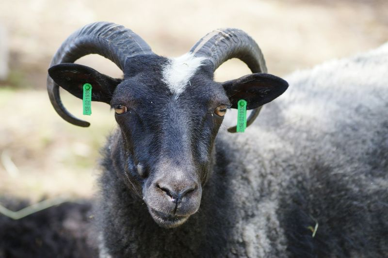 Close-up portrait of sheep on grassy field