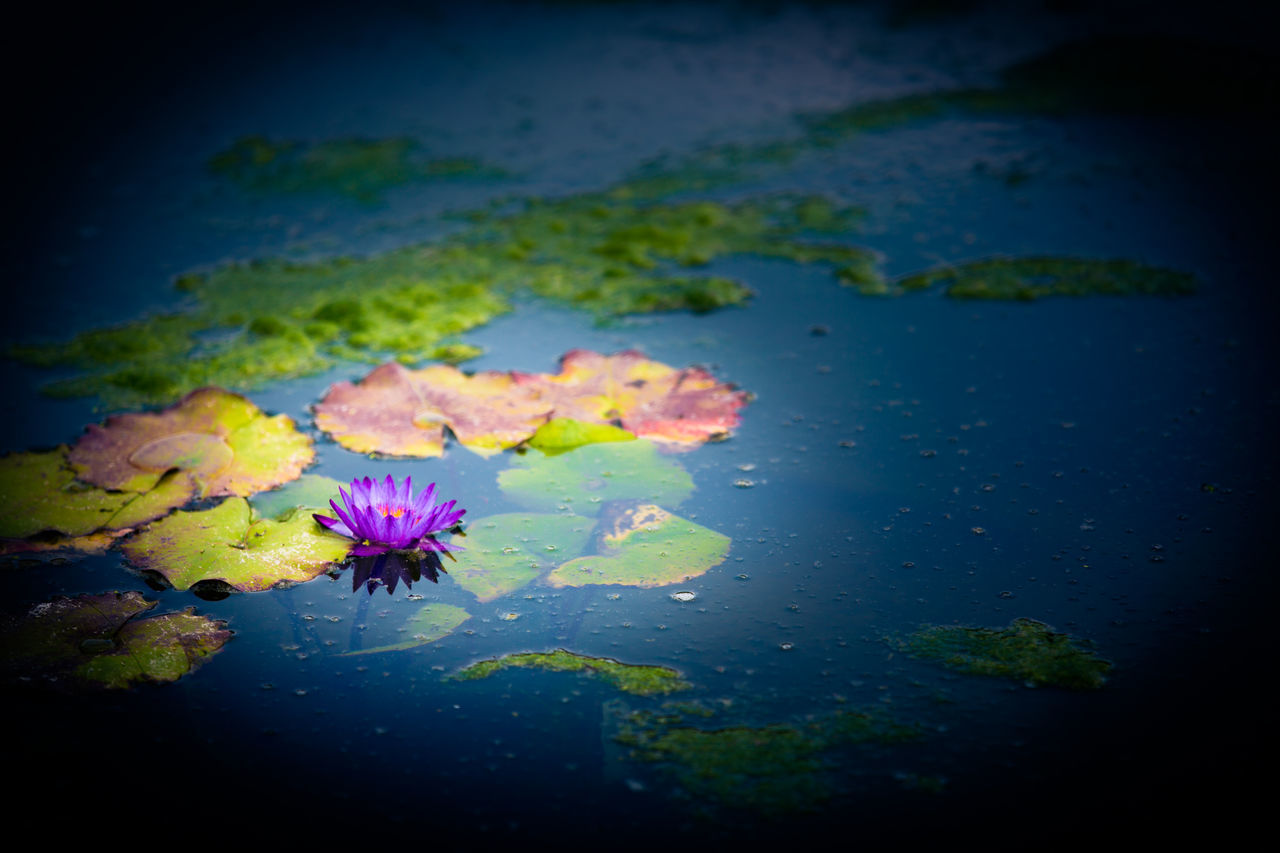 flower, nature, beauty in nature, water, petal, fragility, freshness, leaf, water lily, flower head, floating on water, outdoors, no people, growth, lily pad, plant, day, lake, close-up, lotus water lily, scenics, sky