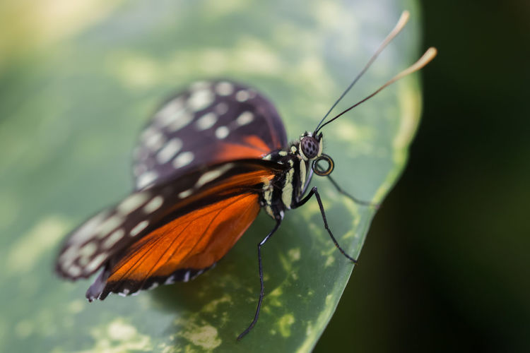 Butterfly captured in macro - Red/orange, black and white, on a leaf Animal Themes Butterfly Butterfly - Insect Close-up Insect Macro Macro Beauty Macro Photography Macro_collection Nature Nature Photography Nature_collection Naturelovers One Animal