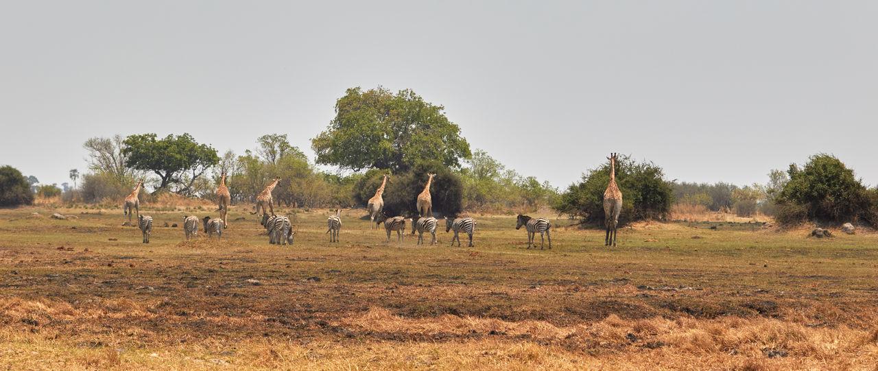 African landscape with lots of animals. Botswana Giraffe Zebra Africa African Landscape Animal Animal Wildlife Animals In The Wild Day Grass Grazing Large Group Of Animals Mammal Nature No People Okavango Delta Savanna Tree Wildlife