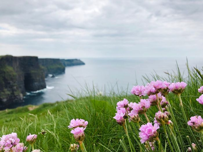 Cliffs of Moher horizontal Flower Flowering Plant Plant Beauty In Nature Water Nature Freshness Sky Cloud - Sky Growth Scenics - Nature Sea Tranquility Day Flower Head No People Land Pink Color