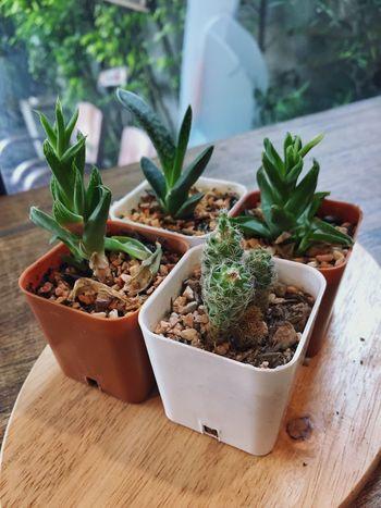 EyeEm Selects Growth Plant Green Color Leaf Nature Cactus Cactus Garden Cactus Flower Cactus Plant Cactusflower