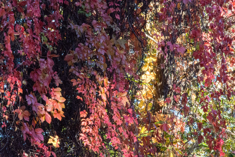 Pink Leaves Pink Color Pink Outdoors Multi Colored Nature No People Autumn Day Giant Ivy Ivy Leaves Beauty In Nature Autumn Colors Autumn 2016 Autumn Leaves The Magic Of The Autumn