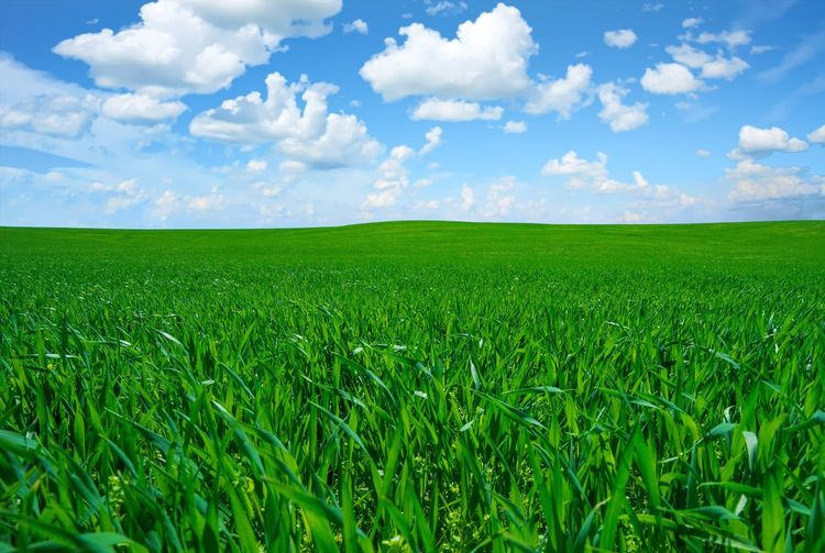Agriculture Beauty In Nature Cereal Plant Cloud - Sky Crop  Environment Farm Field Green Color Growth Land Landscape Nature No People Outdoors Plant Rural Scene Scenics - Nature Sky Tranquil Scene Tranquility