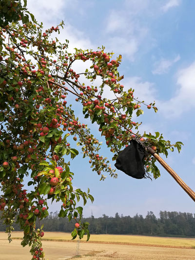 Apfelernte Apfelpflücker Agriculture Beauty In Nature Branch Cloud - Sky Day Food Food And Drink Freshness Fruit Fruit Tree Growth Healthy Eating Kernobst Landscape Low Angle View Nature No People Obstpflücker Outdoors Plant Ripe Sky Tree