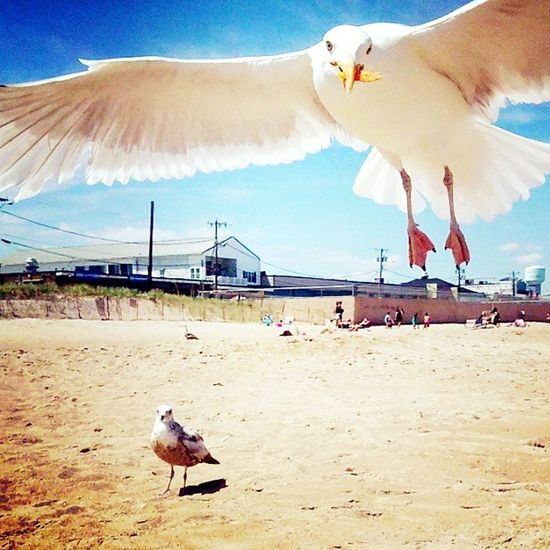 """Mine!"" hungry gull stole my chip and I return I stole his picture 😉 NH 2014 #gulllife #beachlife #beachbum ##hamptonbeach NH Atlantic Ocean East Coast My Old Hood 2014 Hungry Bird He Stole My Chip #mineminemine In Flight Seagull Bird Water Flamingo Beach Sea Human Hand Sand Pets Seagull Sky Spread Wings Flapping Flight Flying"