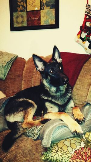 Happy first birthday Zora ♡ German Shepherd Cute Pets Puppy