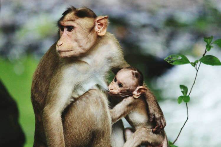 Close-up of infant feeding monkey