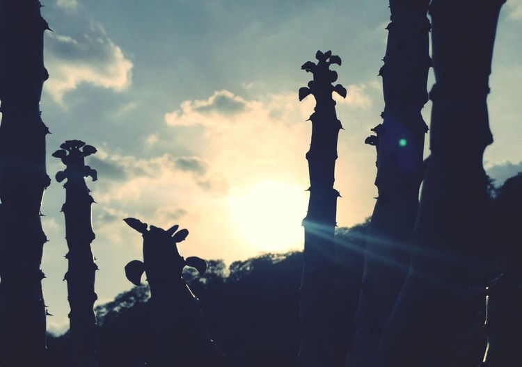 Silhouette Sky Outdoors Day Nature Cactus Plant Lost In The Landscape Sun Light Sun Shine Powerful Radiant Beaming Sun Sun Shower Sunlight Sunset Sunset_collection Sunbeam Sun Flare Sun And Sky Sunday