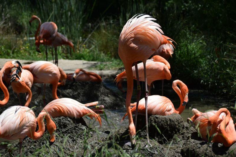 Flamingos on land