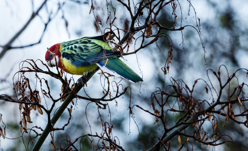 The eastern rosella is a brightly coloured, broad-tailed parakeet native to south-eastern Australia. It was introduced to New Zealand in the early 1900s, and is now common over much of the North Island, with a smaller population centred on Dunedin. They typically move around the landscape in pairs or small flocks, often given away by their noisy chatter or loud, in-flight alarm call. http://nzbirdsonline.org.nz/species/eastern-rosella Bird Tree Nature Branch Perching Rosella Parrot EyeEm EyeEm Nature Lover