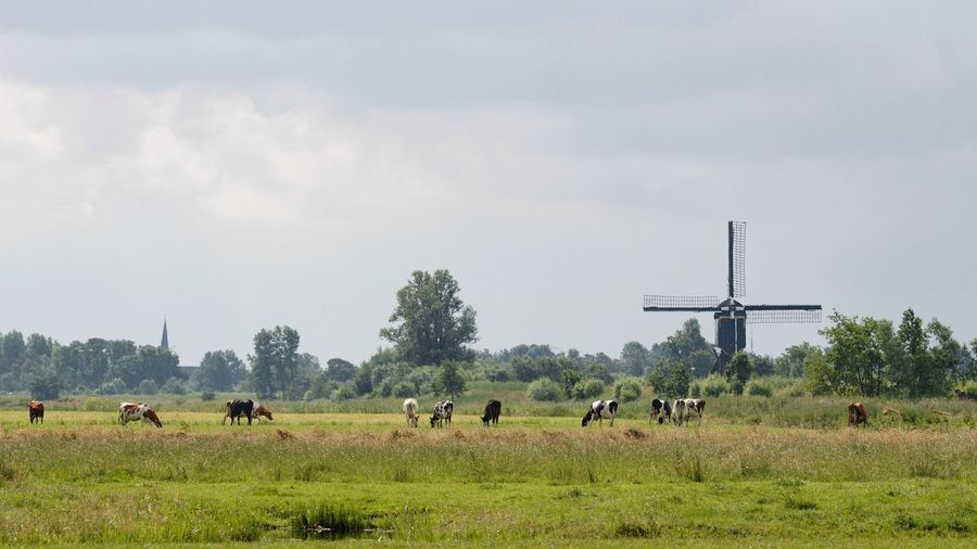 Cows grazing on grassy field by windmill against cloudy sky