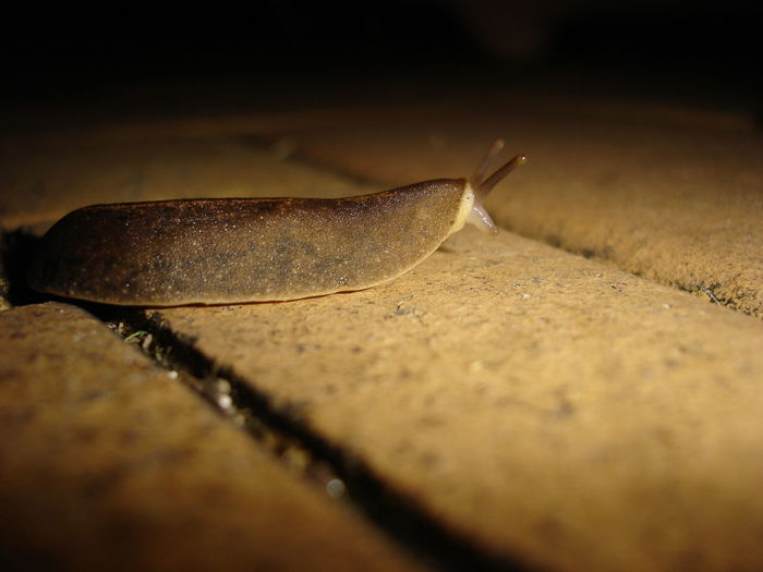 Animal Themes Brown Slug Close-up Nature No People Outdoors Pavers Side View