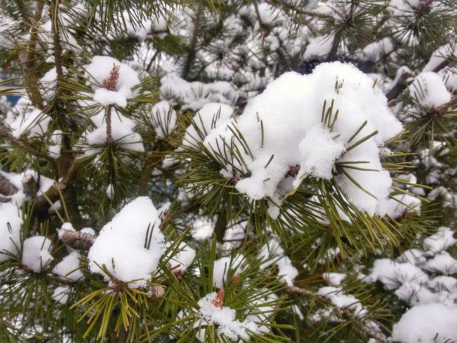 Snowy Pine tree Nature Pine Tree Pines Trees Green Needles Winter White Frozen Season  Weather Snow Snowy Cold Ice