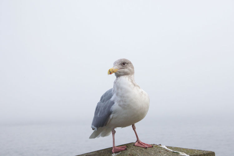 Animal Bird Animal Themes Animals In The Wild Animal Wildlife Perching Seagull Day No People Water One Animal Sea Outdoors Looking