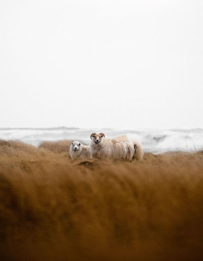 Portrait of sheep on beach against clear sky