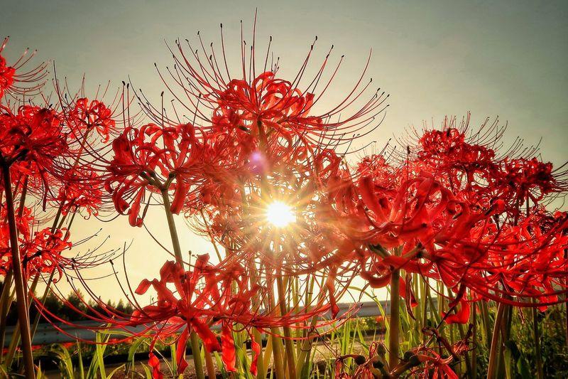 彼岸花 曼珠沙華 花 はな 草花 自然 ひがんばな 太陽 Growth Red Nature Sky Sun Sunset Sunlight Beauty In Nature Low Angle View Freshness EyeEm Daily Nature EyeEm Nature Lover Dramatic Sky Plant EyeEm EyeEm Best Shots - Nature EyeEm Best Shots