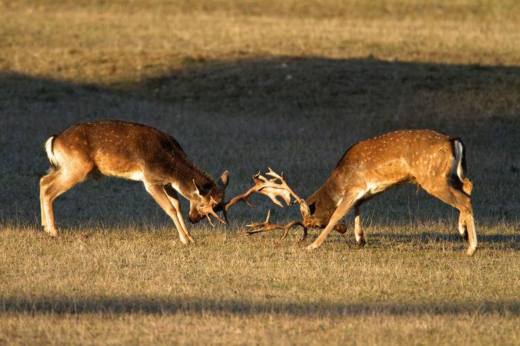 Deer fighting in brijuni national park