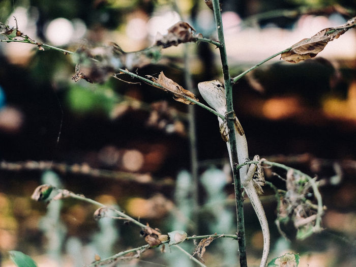 Close-Up Of Oriental Garden Lizard On Dry Plant