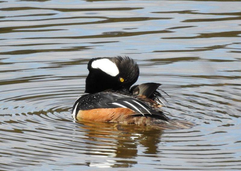 """ Wass Up Duck "" * * * Animal Animal Wildlife Animals In The Wild Bird Duck Hooded Merganser Lake No People One Animal Reflection Vertebrate Water Water Bird Waterfront"