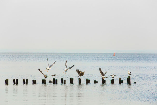 home // Animals In The Wild Baltic Sea Beach Bird Day Flock Of Birds Flying Horizon Over Water Large Group Of Animals Nature No People Outdoors Pole Scenics Sea Seagull Sky Spread Wings Water