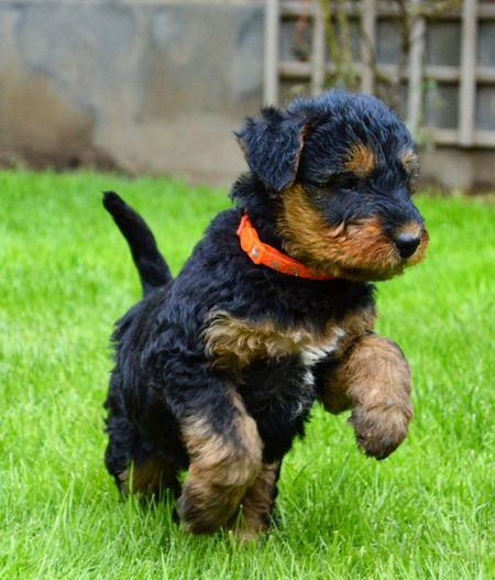 Airedale Puppy