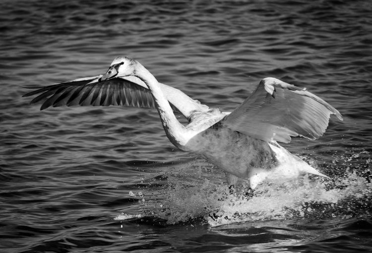 swan flying on the river Beautiful Nature Bird Photography Swans Animal Neck Animal Themes Animal Wildlife Animal Wing Animals In The Wild Beautiful Bird Beautiful Swans Bird Birds Blackandwhite Blackandwhite Photography Flying Motion Nature No People One Animal Splashing Spread Wings Swan Flying On Water Swan Wings Water Waterfront