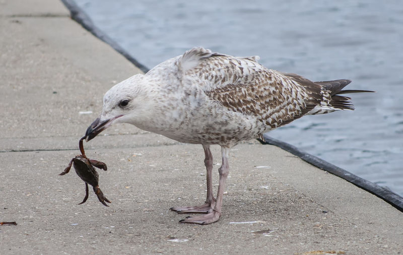 Crab for supper Bird One Animal Animal Wildlife Animals In The Wild Animal Themes No People Close-up Animal Behavior Seagulls Crab Hunting Eating Southsea Portsmouth Hampshire  England Animal Animals In The Wild Seagull Outdoors Nature