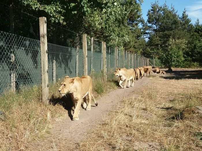 Lions in line Lion Lion - Feline Lioness Lion Park In A Row Animals In Captivity Lions In Captivity Fence Tree Zoo Big Cat Cat Family Captive Animals