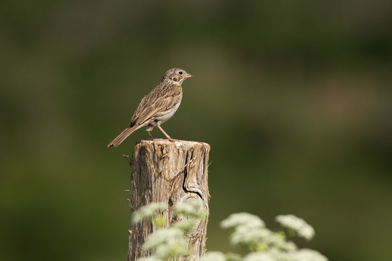 vesper sparrow on a fence post Bird Sparrow Utah Wildlife Outdoors Green Vesper Sparrow Fence Summer Wildflowers Animal Wildlife Perching Animals In The Wild One Animal Bird Animal Themes Nature No People Focus On Foreground Songbird  Wooden Post