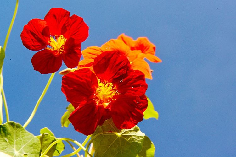Tropaeolum Majus Monks Cress Indian Cress Nasturtium Medicinal Plant Horticulture Garden Blossom Outdoors Fragility Beauty In Nature Flower Vulnerability  Flower Head Freshness Plant Flowering Plant Nature Inflorescence Growth Close-up Blue No People Pollen Sky Orange Color Red Day Petal