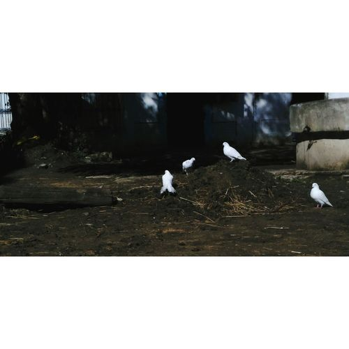 Bird Animals In The Wild Flying Flock Of Birds No People Day Nature Beauty Doves Dove Love