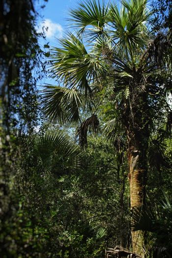 """The Arecaceae """"Palm"""" Tree Florida Nature Florida Trail Hike Forest Palmtree Arecaceae Tree Plant No People Nature Beauty In Nature Day Tranquility Palm Tree Tropical Climate Scenics - Nature Tranquil Scene"""
