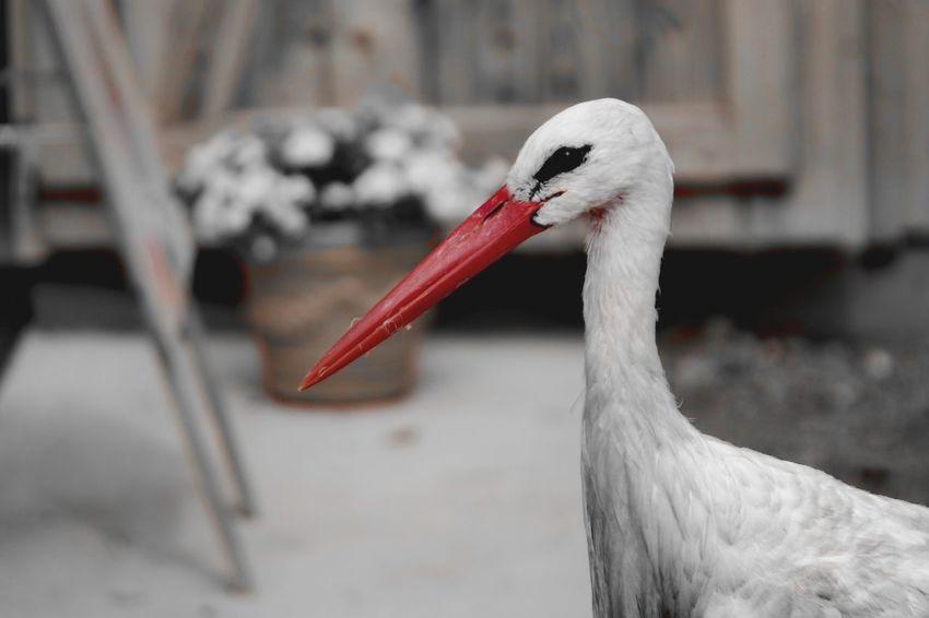 Adebar Affenberg Salem Bodensee Nature Photography Colorsplash My Point Of View Bird Beak Red Stork Close-up White Stork