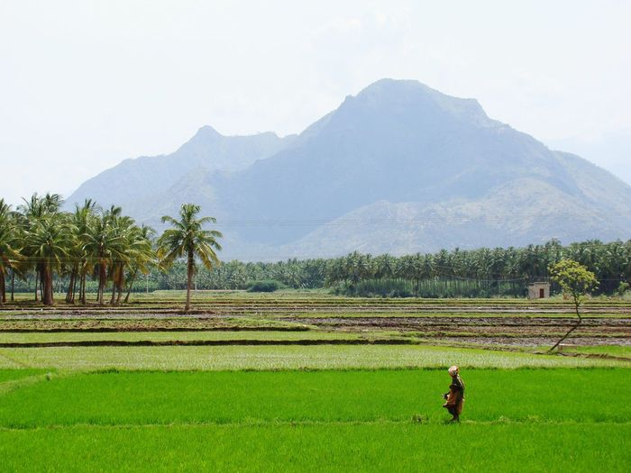 The lone farmer Agriculture Field Nature One Person Mountain Growth Outdoors Green Background Greenary Farming Farm Life Farmland ShadesOfCool Tropical Climate Roadside Countryside Green Color Rural Scene Rice Paddy Farmer Beauty In Nature Real People Working Landscape EyeEmNewHere
