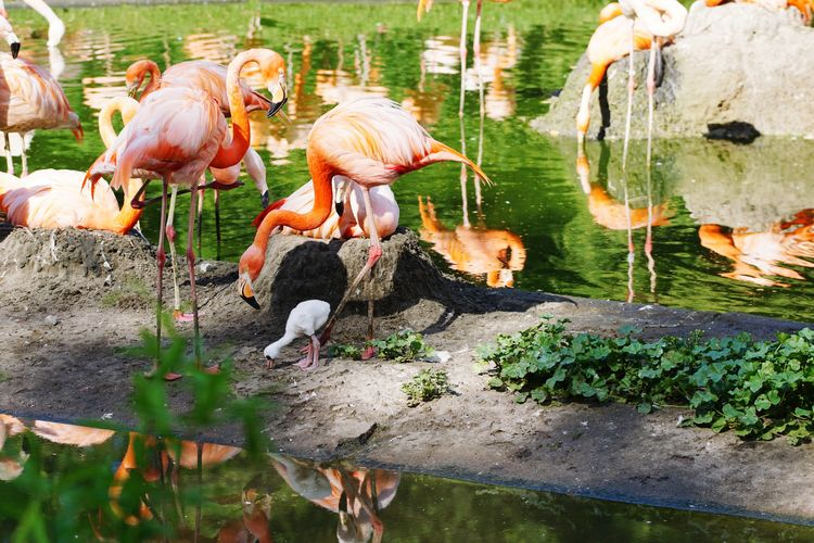 Flamingoes with chick foraging by lake at zoo