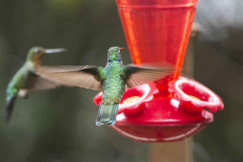 Close-up of red bird on feeder