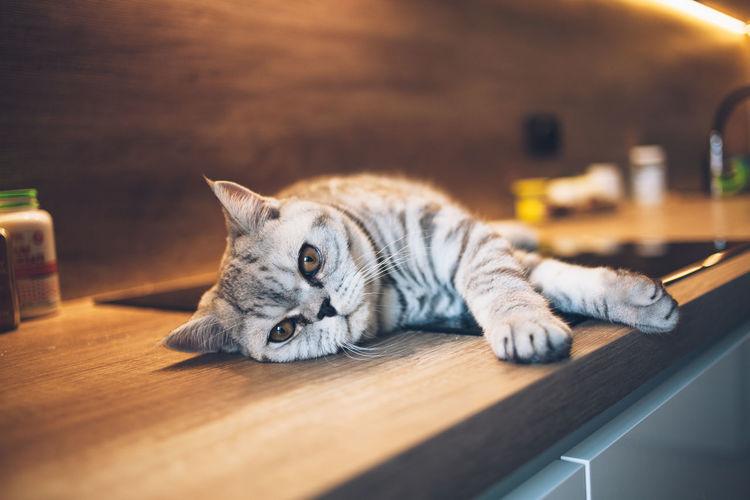 Scottish cat lying on floor