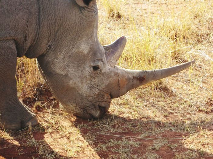 Rhino Animals In The Wild Safari Adventure Johannesburg Rhinoceros Rhino Nature Photography South Africa The Great Outdoors - 2017 EyeEm Awards