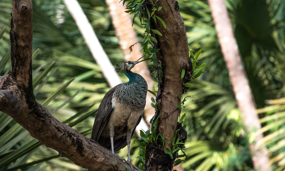 Andaman Islands Animal Themes Animal Wildlife Animals In The Wild Beauty In Nature Bird Branch Close-up Day Focus On Foreground Growth Nature No People One Animal Outdoors Peahen Perching Ross Island Tree Tree Trunk