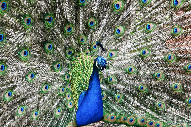 Peacock (front) 🇫🇷 Peacock Bird Peacock Feather Feather  Animal Themes Animal Vertebrate Animal Wildlife One Animal Animals In The Wild Blue Green Color Beauty In Nature No People Male Animal Close-up Full Frame Multi Colored Day Fanned Out