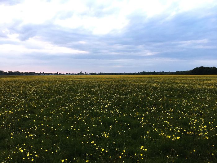 Field Sky Landscape Cloud - Sky Plant Land Environment Beauty In Nature Tranquility Nature Yellow No People Rural Scene Scenics - Nature Flower