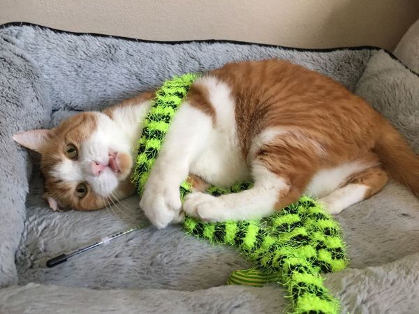 Garfield enjoying his gifts from Santa 🎁 Orangecat Cattoy Whiskers Cateyes Cat Tomcat Fiv Domestic Animals Pets Animal Themes Domestic Cat Mammal Indoors  Lying Down High Angle View One Animal Close-up Feline