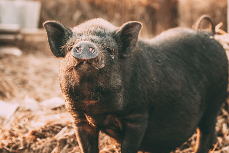 Close-up portrait of wild boar standing on land
